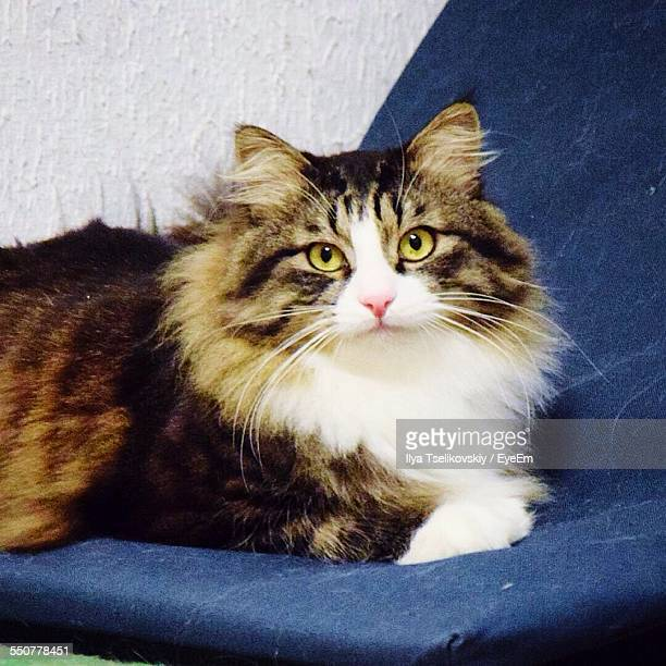 Maine Coon Cat Stock Photos And Pictures Getty Images