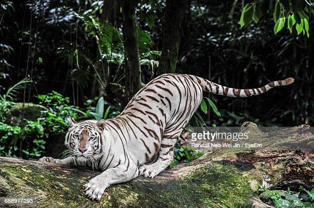 portrait of majestic white tiger on fallen tree in forest - white tiger stock photos and pictures