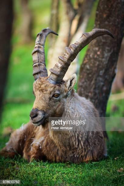 Portrait of male alpine ibex (capra ibex)