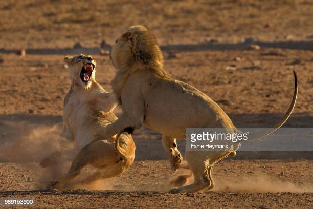 Portrait of male and female lions fighting, Nossob, South Africa