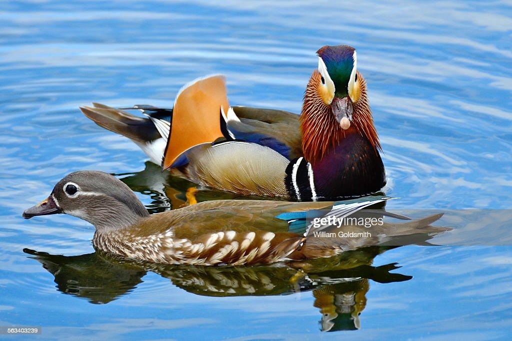 Portrait Of Male And Female Mandarin Ducks Stock Photo