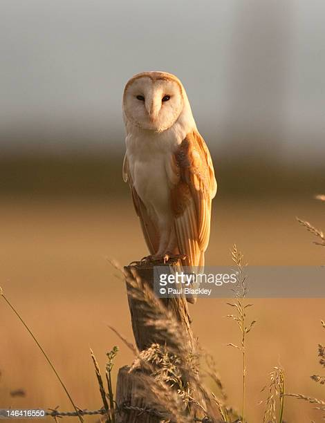portrait of male barn owl - barn owl stock pictures, royalty-free photos & images