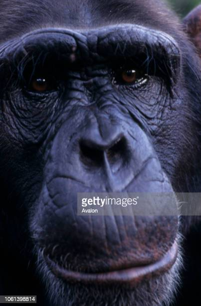 Portrait of male Chimpanzee at sanctuary in Kenya Date 250608