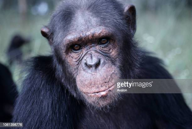 Portrait of male Chimpanzee at sanctuary in Zambia Date 250608