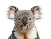Portrait of male Koala bear against white background