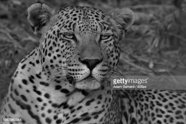Portrait of male leopard