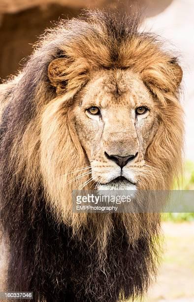Portrait of Male Lion Head and Shoulders