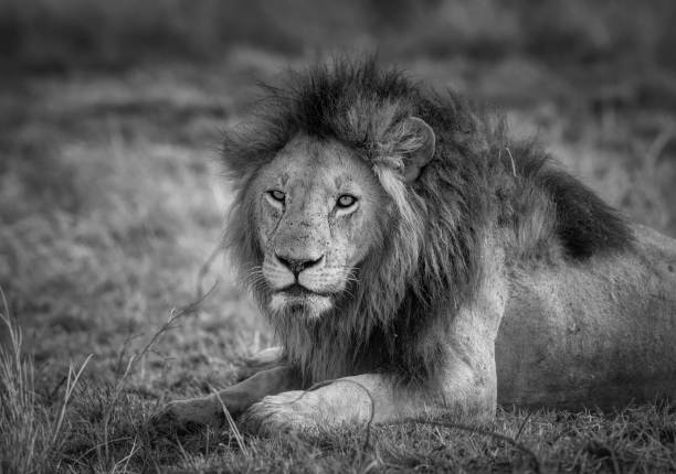 Portrait of Male Lion of Moniko Pride Looking Pensive at Maasai Mara, Kenya