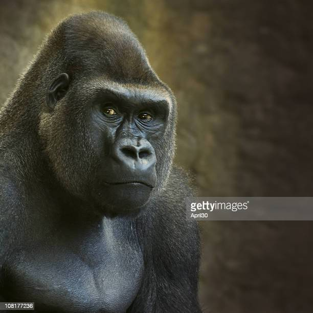 portrait of male lowland gorilla in captivity - gorilla stock pictures, royalty-free photos & images