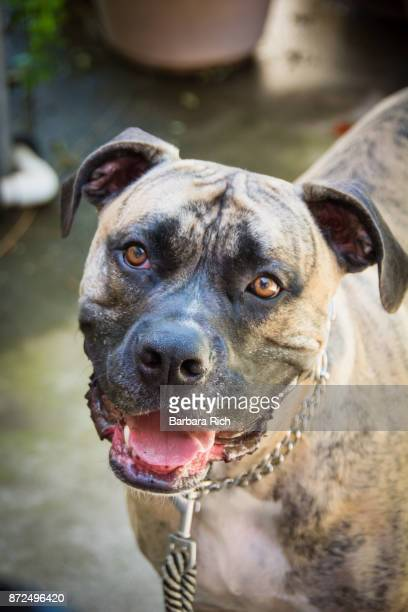 Portrait of male Mastiff mixed breed dog looking at camera