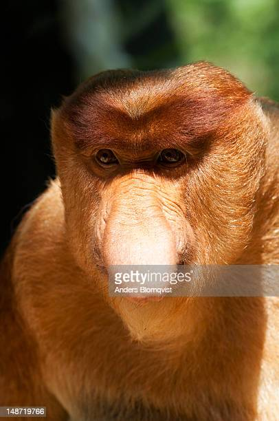 Portrait of male Proboscis Monkey (Nasalis larvatus) at Lok Kawi Wildlife Park.
