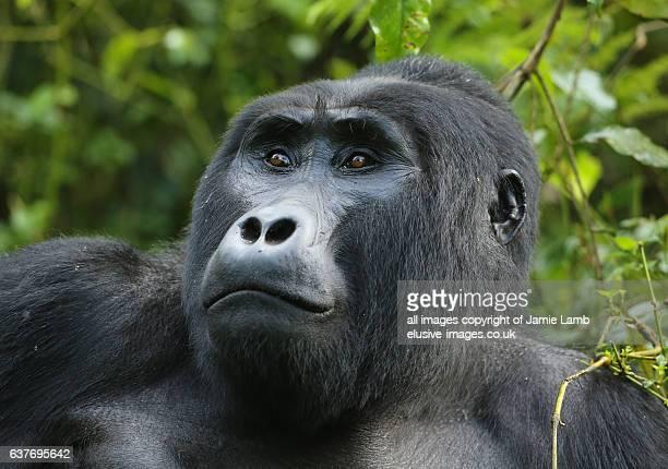 Portrait of male Silverback Gorilla of Bweza family