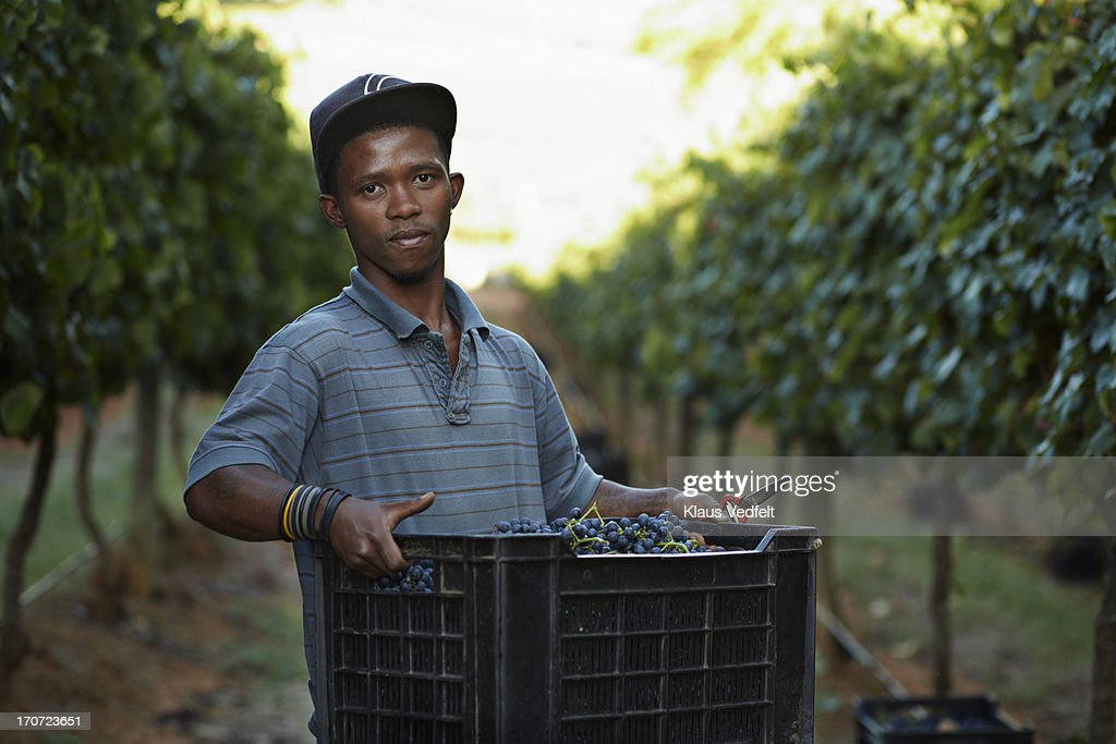 Portrait of male worker carrying box on vinyard : Stock Photo