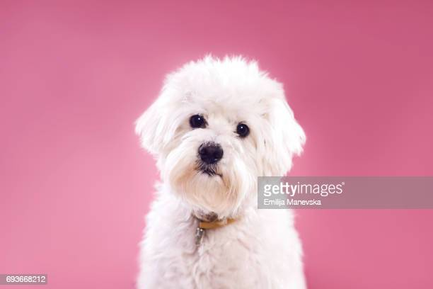 Portrait of Maltese Dog