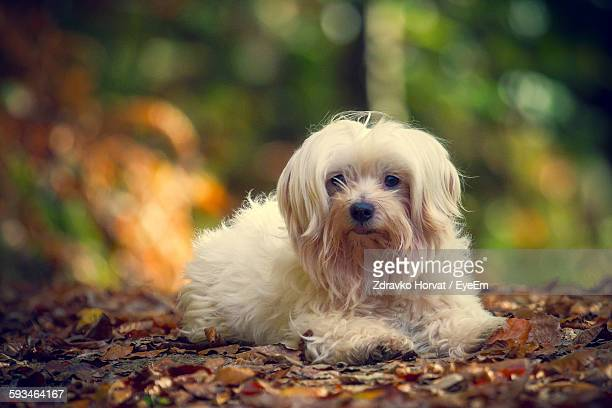 Portrait Of Maltese Relaxing On Ground During Autumn