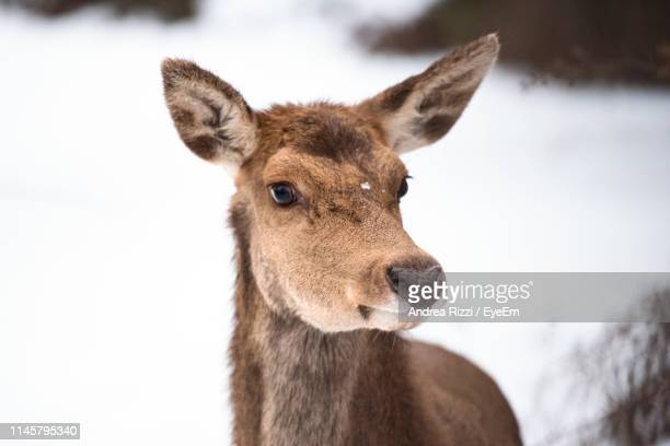 Portrait Of Mammal On Snow Covered Land