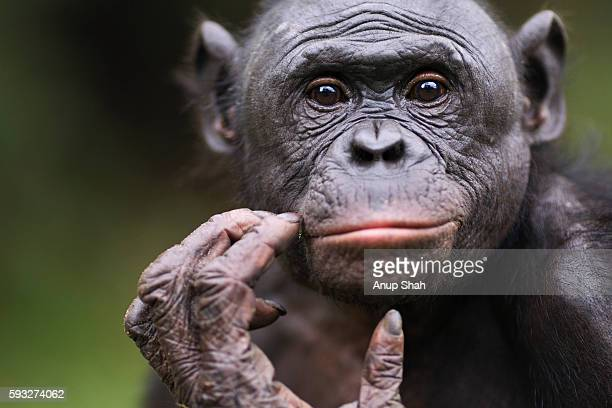 portrait of mature bonobo - chimpanzee stock pictures, royalty-free photos & images