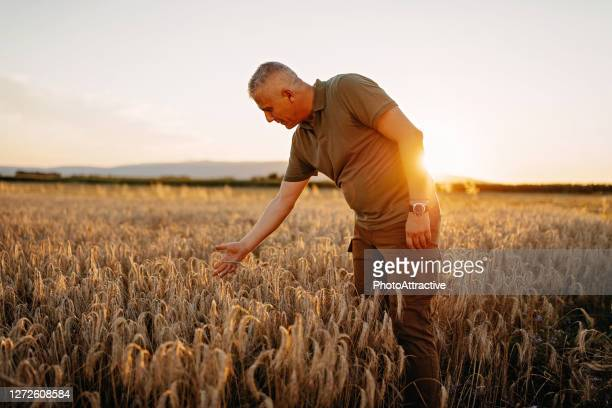 portrait of mid adult farmer in the wheat field - agronomist stock pictures, royalty-free photos & images