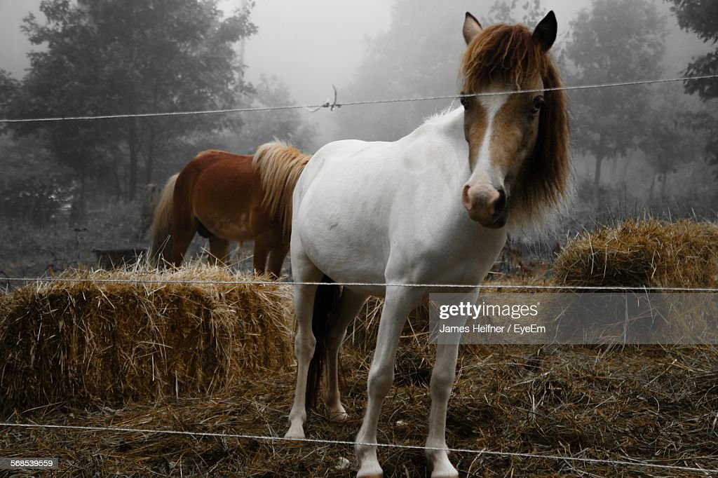 Portrait Of Miniature Horses On Field By Fence : Stock Photo