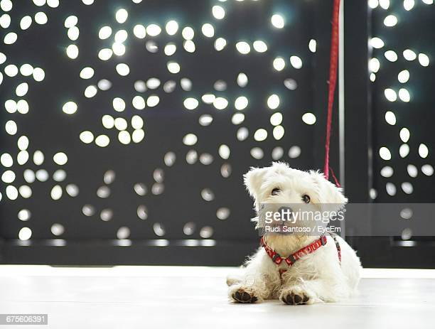 portrait of miniature poodle sitting on floor - miniature poodle stock photos and pictures