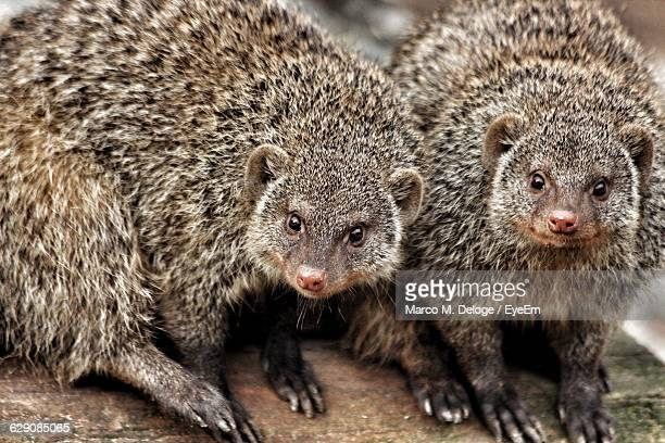 portrait of mongoose on log - mongoose stock photos and pictures
