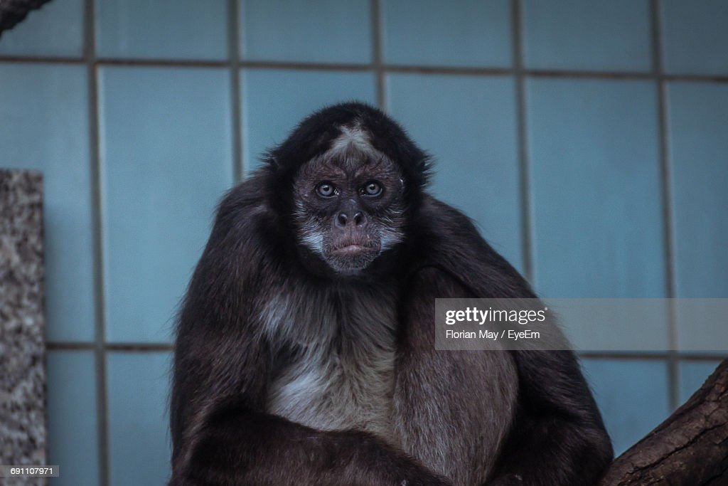 Portrait Of Monkey Against Wall At Zoo Stock Photo