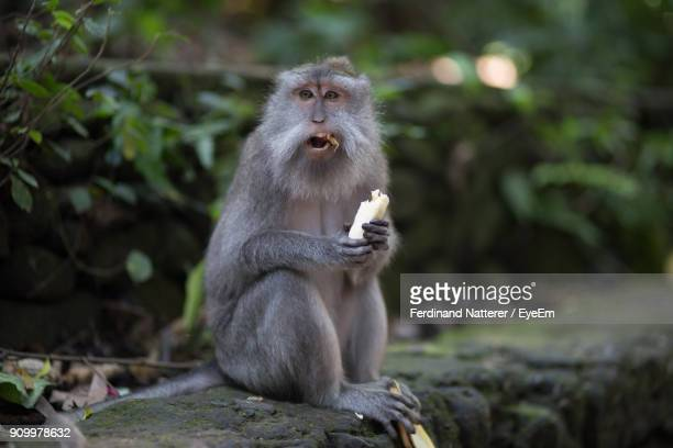 Portrait Of Monkey Eating Banana Outdoors