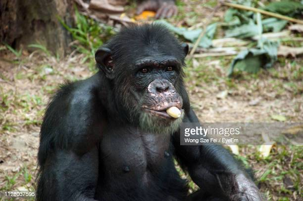 Portrait Of Monkey Eating Banana While Sitting On Field