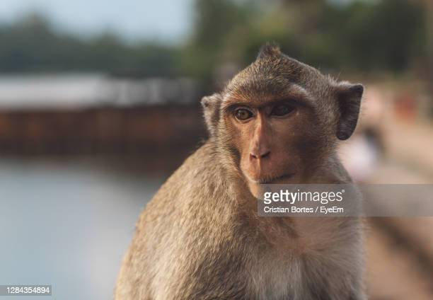 portrait of monkey looking away - bortes stock pictures, royalty-free photos & images