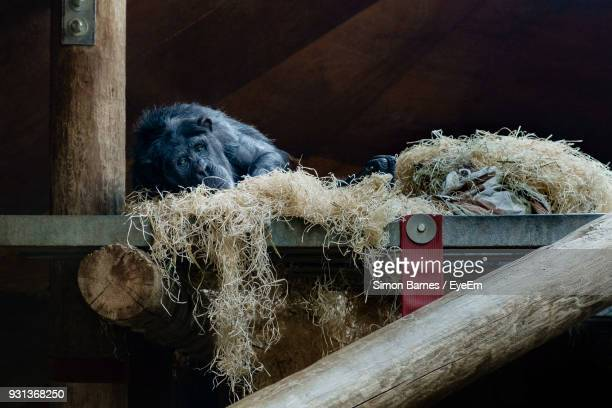 Portrait Of Monkey Resting On Wood