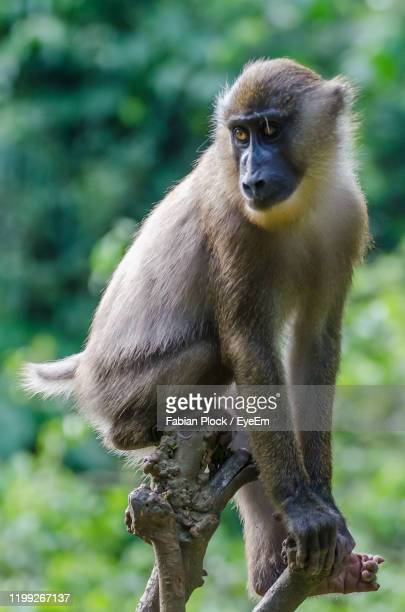 portrait of monkey sitting outdoors - nigeria stock pictures, royalty-free photos & images