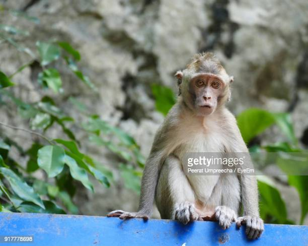 portrait of monkey sitting outdoors - monkeys stock photos and pictures