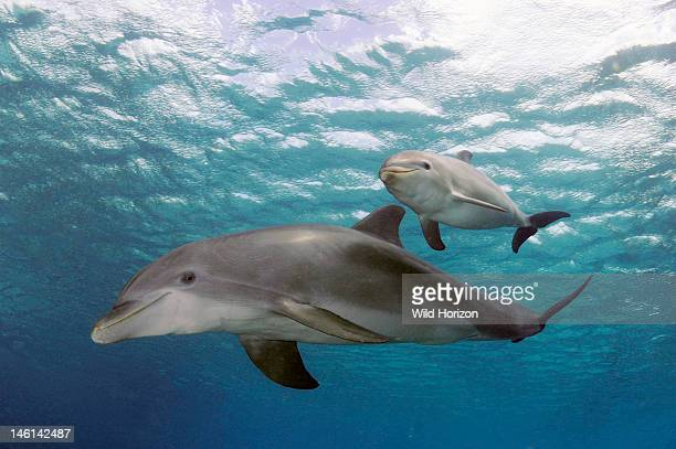 Portrait of mother and baby Atlantic bottlenose dolphins Curacao Netherlands Antilles