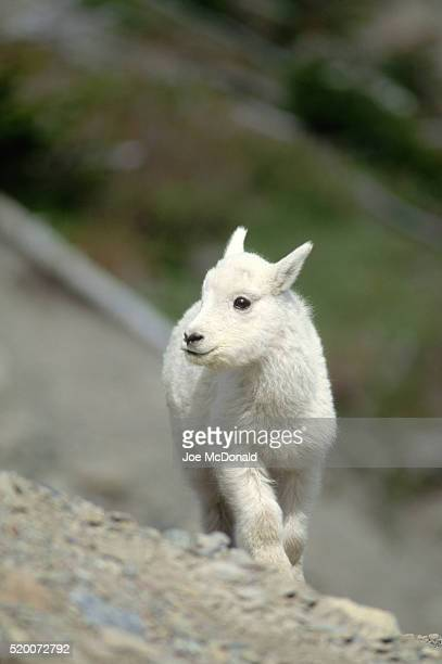 Portrait of Mountain Goat Kid