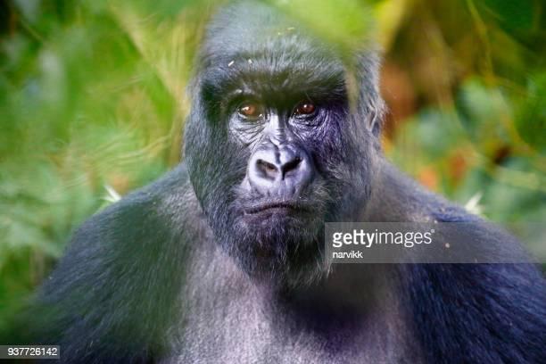 portrait du gorille des montagnes - gorille photos et images de collection