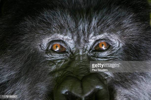 Portrait of Mountain Gorilla, Volcanoes National Park, Rwanda