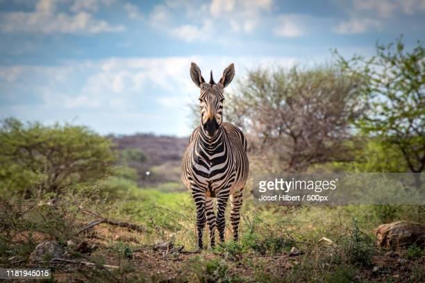 portrait of mountain zebra (equus zebra) - zebra stock-fotos und bilder