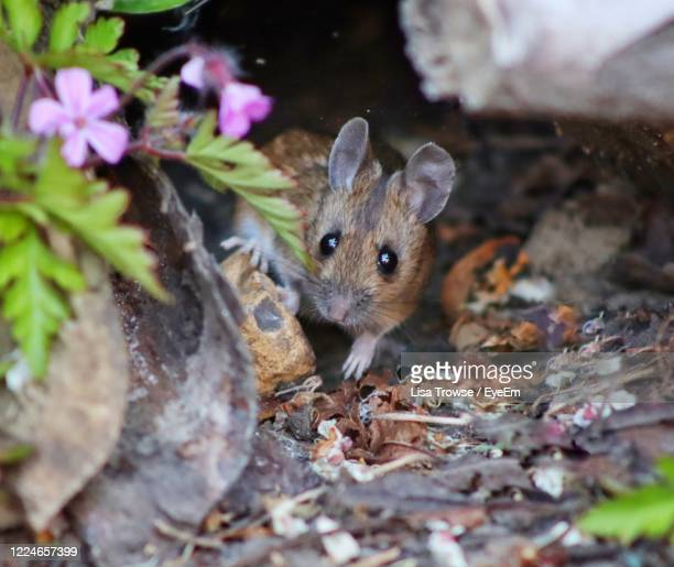 portrait of mouse in a garden - esher stock pictures, royalty-free photos & images