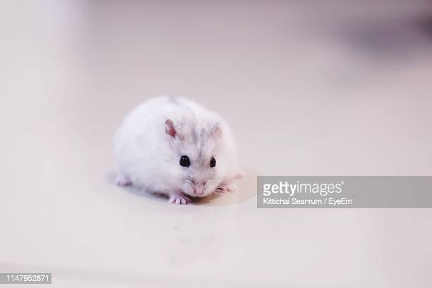 portrait of mouse on table - cute mouse stock pictures, royalty-free photos & images