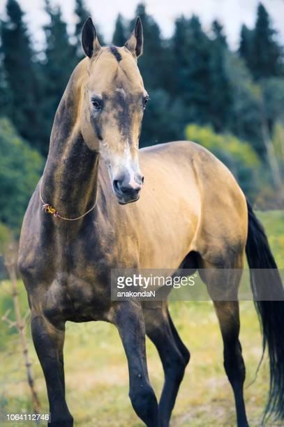 portrait of movement  purebred akhalteke stallion at forest background