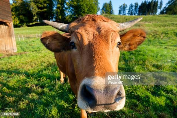 Portrait of Murnau-Werdenfels Cattle on pasture