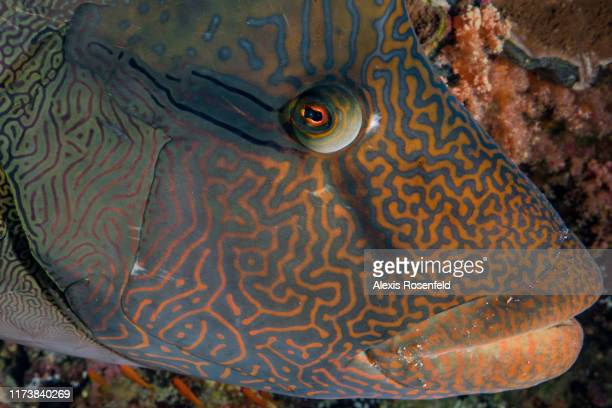 Portrait of Napoleon wrasse fish swimming in its ecosystem on May 03, 2017 off the Red Sea, Egypt.