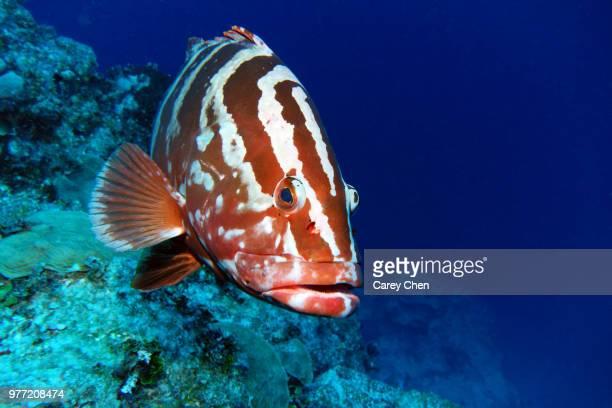 portrait of nassau grouper (epinephelus striatus), caribbean - grouper stock pictures, royalty-free photos & images