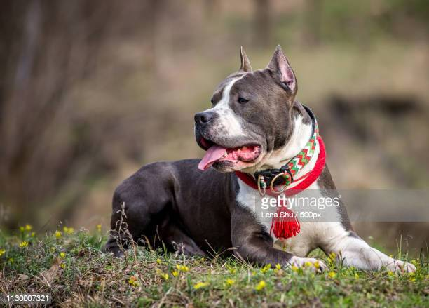 Portrait Of Nice American Staffordshire Terrier