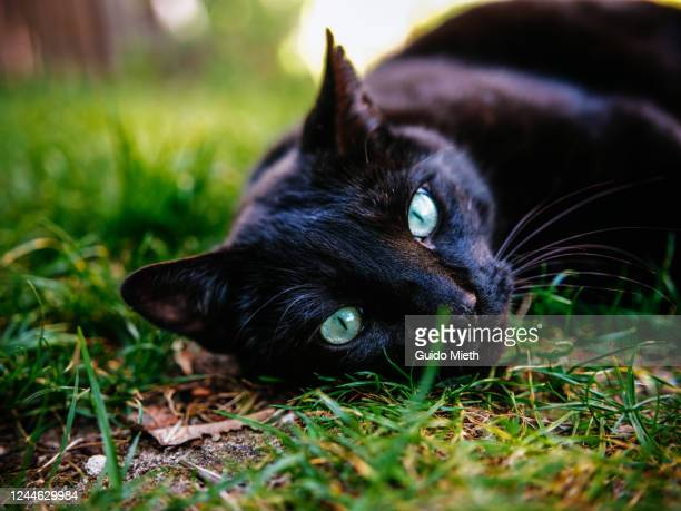 portrait of nice black cat while napping outdoor. - guido mieth stock pictures, royalty-free photos & images
