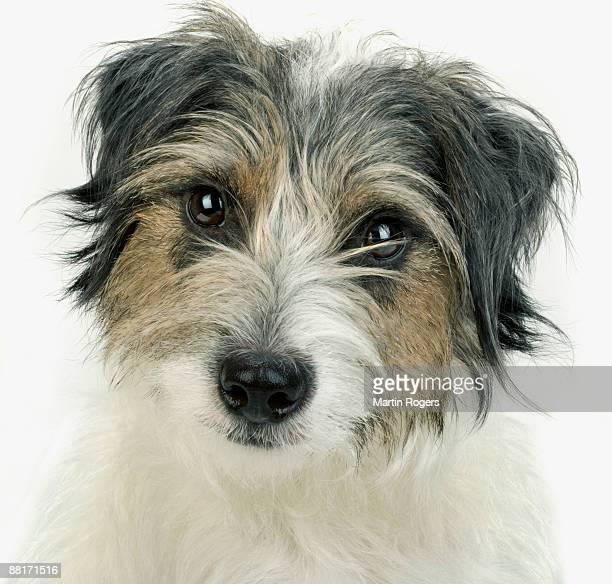 portrait of norfolk terrier - norfolk terrier photos et images de collection