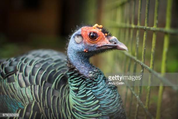 Portrait of Ocellated turkey (Meleagris ocellata) in ZOO, Edinburgh, Scotland, UK