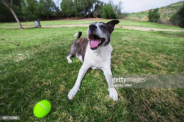 Portrait of old dog lying in park with tennis ball