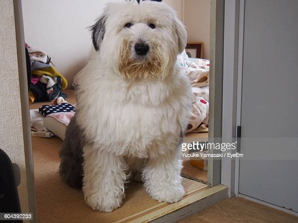 portrait of old english sheepdog at home - old english sheepdog stock pictures, royalty-free photos & images