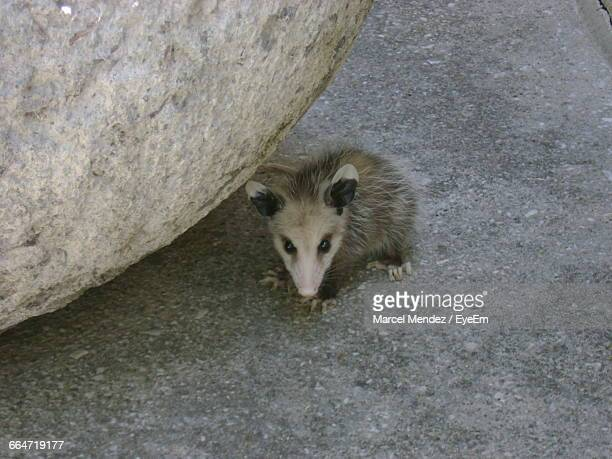 Portrait Of Opossum On Field By Rock